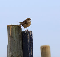 Meadow Pipit, Anthus pratensis by Louise Heusinkveld