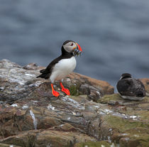Puffin-with-sand-eels0050