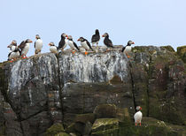 Puffins by Louise Heusinkveld