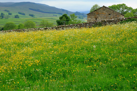 Stone-barn-and-buttercup-meadow0098