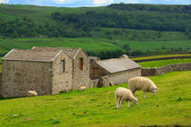 Sheep grazing in Swaledale von Louise Heusinkveld