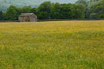 Field of buttercups and stone barn, Swaledale, North Yorkshire von Louise Heusinkveld