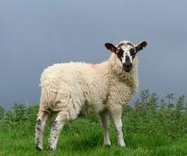 Lamb in Wensleydale von Louise Heusinkveld