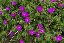Cranesbill by Louise Heusinkveld