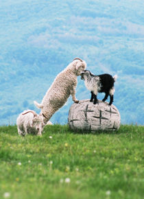 A Kid and Sheep by Dori Alexa