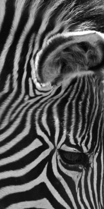 Zebra by David Pringle
