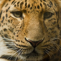 Amur Leopard von David Pringle
