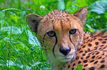 Gepard von Wolfgang Dufner