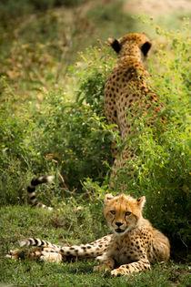Geparden / Cheetahs by martin buschmann