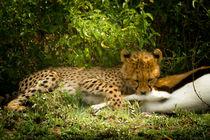 Cheetah ́s Cup / Gerparden Junges by martin buschmann