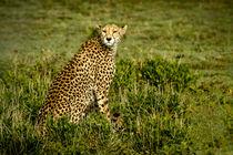 Cheetah / Gepard by martin buschmann