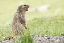 Alpine Marmot in the grass - Marmota von chrisroll