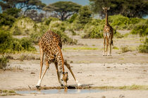 Giraffes / Giraffen von martin buschmann