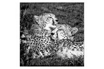 Cheetah / Gepard - SQARE von martin buschmann