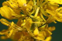 Rapsblüte - rape flower by ropo13