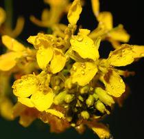 Rapsblüte - rape flower von ropo13