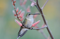 Bihu-0301-broad-tailed-hummingbird-selasphorus-platycercus