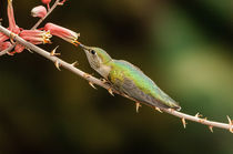 Bihu-0643-broad-tailed-hummingbird-selasphorus-platycercus
