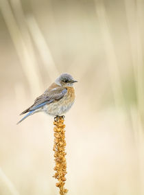 Western Bluebird by Barbara Magnuson & Larry Kimball