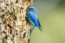 Bitk-0352-mountain-bluebird-sialia-currucoides