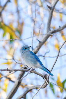 Mountain Bluebird by Barbara Magnuson & Larry Kimball