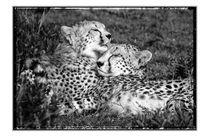 Cheetah / Gepard - Landscape von martin buschmann