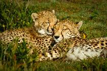 Cheetah / Gepard - 2 by martin buschmann