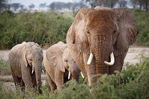 Elephants in the plain von martin buschmann