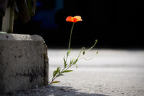 Mohn by lichtspur