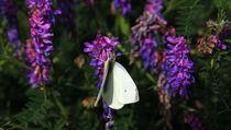 Schmetterling auf Blüten von Wolfgang Dufner