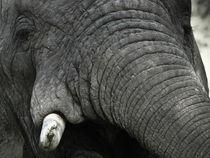 Elephants tusk von martin buschmann