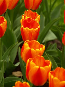 Close Up Tulips by Ron Ella