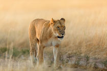 Lioness in the morning sun Masai Mara von Maggy Meyer