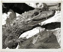 Baby Gator von Brian Grady