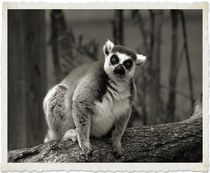 Ring Tailed Lemur by Brian Grady