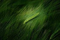 Getreide  by Elke Balzen