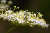 Holunderblüte - Elderflower von ropo13