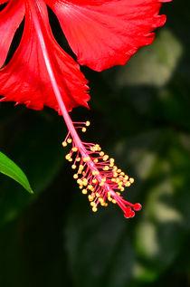 Hibiscus von Pravine Chester