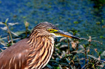 Pond Heron von Pravine Chester