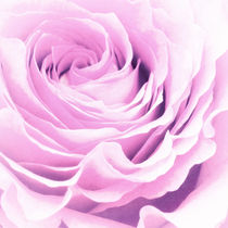 Sweet pastel rose by AD DESIGN Photo + PhotoArt