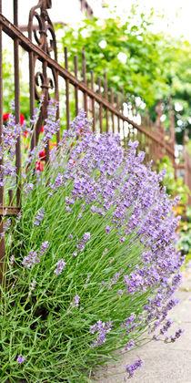 Lavendel VII by Petra Dammann