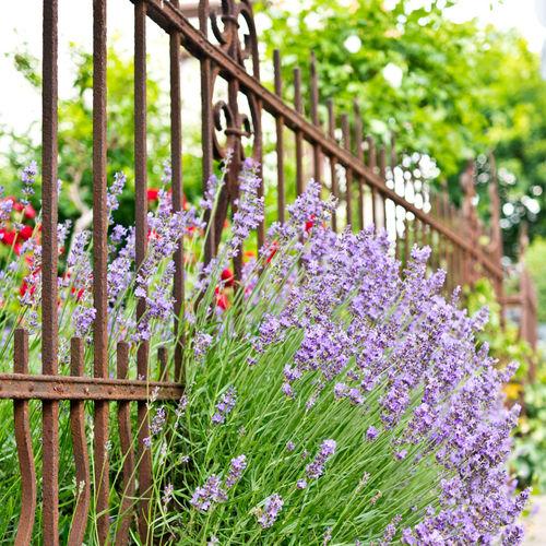 Lavendel-101