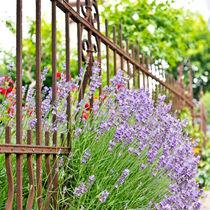 Lavendel VI von Petra Dammann