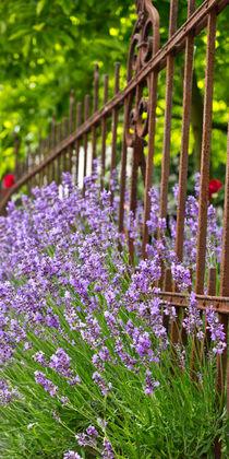 Lavendel V von Petra Dammann