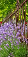 Lavendel-102