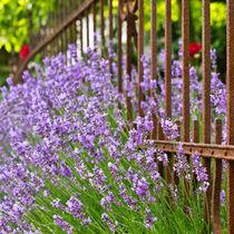 Lavendel IV von Petra Dammann