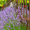 Lavendel-103