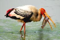 Painted Stork Feeding von Pravine Chester