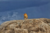 'Lioness on kopjes just before it rained' von Maggy Meyer