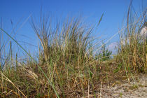 Gras in den Dünen - Grass in the dunes by ropo13